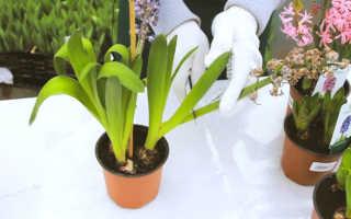 Как пересадить гиацинт из горшка в горшок. Гиацинт в горшочке — как сохранить растение после окончания цветения