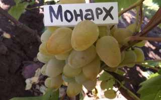 Виноград монарх форум. Форум виноград