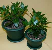 Как вырастить дома лавровое дерево. Лавровое дерево: выращивание и уход в домашних условиях