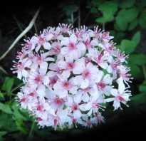 Дармера фото. Дармера щитовидная – фото цветка, выращивание в саду