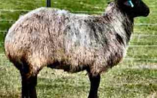 Баран с курдюком фото. Курдючный баран: описание, виды, кормление, разведение