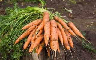 Как всходит морковь. Через сколько дней после посева всходит морковь