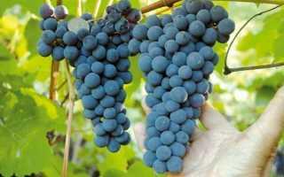 Виноград на южном урале. Виноград на Южном Урале, посадка и уход
