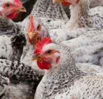 Какими крупами можно кормить кур. Можно ли кормить кур гречкой и рисом