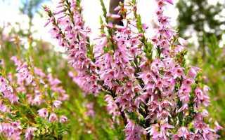 Вереск белый фото. Растение вереск: описание, фото, посадка и уход