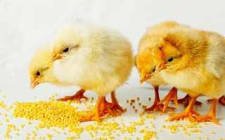 Как давать пшено цыплятам. Чем можно кормить цыплят: список разрешенных и запрещенных продуктов