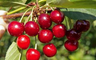 Вишня черешневая описание сорта фото отзывы. Лучшие сорта вишни для выращивания в Подмосковье