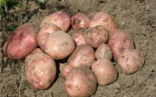 Картофель снегирь характеристика сорта отзывы вкусовые качества. Характеристика сорта картофеля Снегирь