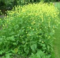 Горчица норма высева. В чем польза для огорода и сада от горчицы, как сидерата
