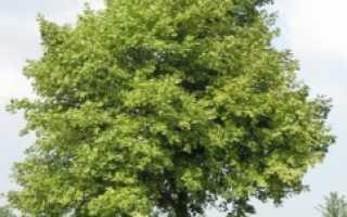 Клен остролистный друммонда. Клен остролистный Друммонда (Acer platanoides Drummondii)