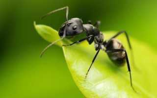 Как бороться с садовыми муравьями в теплице. Проверенные способы как избавиться от муравьев в теплице: 4 народных способа