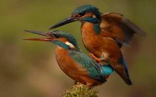 Как птицы совокупляются. Как размножаются птицы