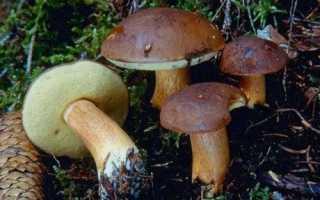 Как выглядят польские грибы. Как распознать ложный польский гриб