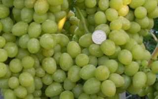 Виноград аркадий описание сорта. Виноград Аркадия: описание сорта, характеристики, отзывы, посадка и уход