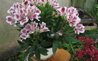 Альстромерия выращивание из семян в домашних. Цветы альстромерия в домашних условиях