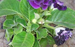 Глоксиния болезни листьев и лечение. Какие бывают болезни листьев у глоксинии и как проводится лечение?
