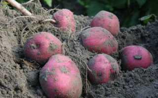 Картофель сорт красавчик описание сорта. Картофель «Красавчик»: описание сорта, фото и отзывы