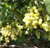 Виноград супер экстра описание сорта отзывы. Виноград Супер Экстра