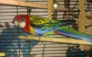 Какой попугай лучше для квартиры. Какого попугая лучше завести в квартире – какие сюрпризы они могут преподнести