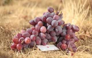 Атаман павлюк. Атаман Павлюк — характеристика столового винограда
