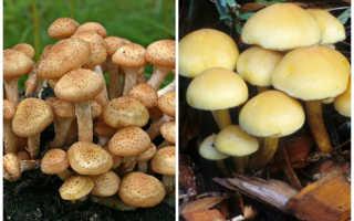 Гриб масленок фото. Маслята – съедобные грибы: фото, описание