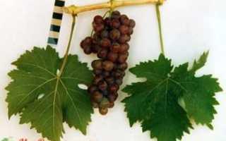 Виноград десертный. Описание сорта винограда Десертный