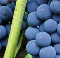 Виноград альфа отзывы. Виноград Альфа: описание сорта, фото и отзывы