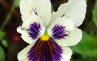 Виола ампельная выращивание из семян. Виола ампельная. Правильное выращивание из семян и уход за цветком