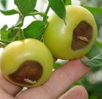 Гниют помидоры что делать. Почему помидоры гниют на кустах: причины и методы решения проблемы