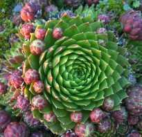 Каменный цветок растение уход дома. Молодило: посадка каменного цветка и уход за ним