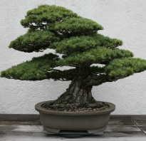 Бонсай сколько лет растет. Как вырастить бонсай дерево из семян в домашних условиях