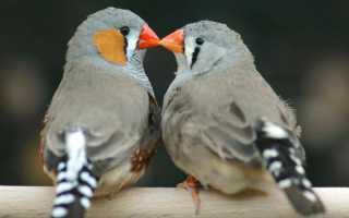 Как спариваются птицы схема фото. Как в природе размножаются птицы?