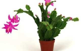 Болезни цветка декабриста. Опасные болезни и вредители декабриста. Лечение и борьба с ними