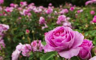 В какое время лучше сажать розы. Посадка роз весной и осенью: от выбора саженцев до окучивания