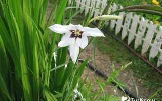 Ацидантера фото и выращивание. Цветы ацидантера Посадка выращивание и уход в открытом грунте и в домашних условиях