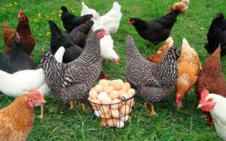 Как выбрать кур несушек при покупке. Как правильно выбрать курицу несушку: советы начинающим фермерам
