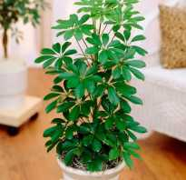 Schefflera arboricola уход в домашних условиях.