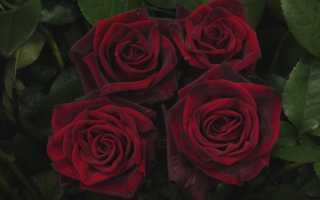 Blackmagic роза. Роза Black Magic — описание сорта и особенности ухода