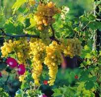 Виноград валентин описание сорта фото отзывы. Отличный урожай без особых усилий — виноград Валентина