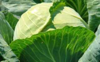 Голландские сорта капусты для хранения. Голландские семена капусты