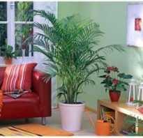 Виды комнатных пальм с фото и названием. Популярные виды комнатных пальм с фото. Особенности выбора и ухода