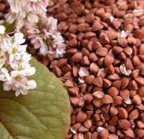 Гречиха фото растение. Гречиха обыкновенная: описание, выращивание и применение