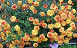 Когда лучше пересаживать дубки. Цветы дубки (хризантема): уход, размножение, выращивание + фото