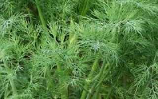 Как посадить укроп под зиму видео. Посадка под зиму укропа: когда сажать и как сеять правильно.