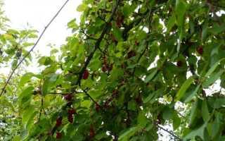 Как размножается китайский лимонник. Лимонник китайский: посадка и уход, выращивание в открытом грунте