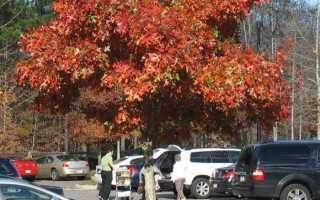 Канадский дуб фото дерева и листьев. Дуб красный: описание и фото дерева