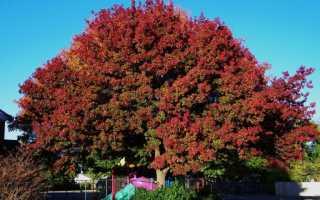 Канадский дуб фото дерева. Что за дерево красный дуб?