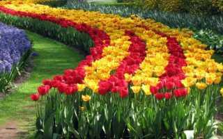 Как размножаются тюльпаны. Как размножается тюльпан — особенности разведения