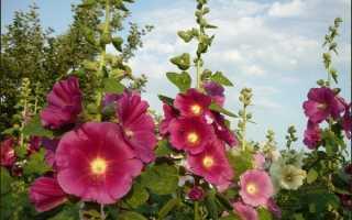 Как сажать мальву семенами. Цветок мальва: выращивание из семян и последующий уход