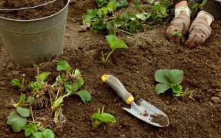 Когда рассаживать клубнику весной. Когда и как пересаживать клубнику